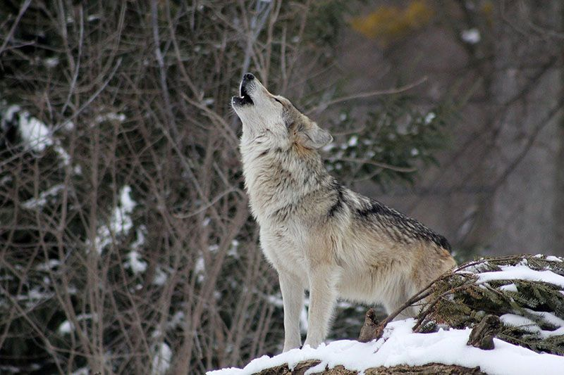 wolves come howling